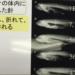 針を飲まれた魚は無理に持ち帰らなくてもいい!針を飲んだ魚でも生存率が高いことが判明!